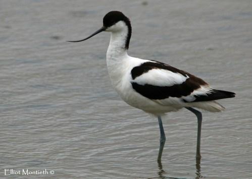 Pied Avocet (Recurvirostra avosetta) - RSPB Titchwell