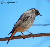 Black Redstart (Phoenicurus ochruros) - Javea
