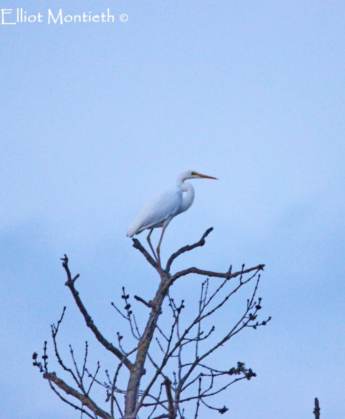 Great White Egret, RSPB Burton Mere Wetlands, Cheshire
