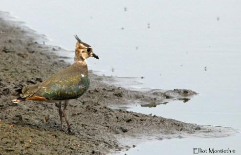Northern Lapwing (Vanellus vanellus) - Woolston Eyes