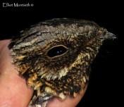 European Nightjar (Caprimulgus europaeus) - Taken from last years camp