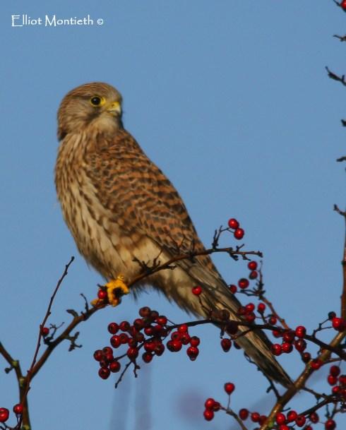 Eurasian Kesterl (Falco tinnunculus) - Denhall Quay