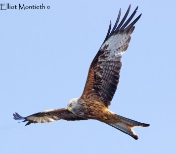 Red Kite (Milvus milvus) - A rare visitor to the Wirral yet clocked myself up to 3 of these from English, History & Directed Study