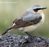 Northern Wheatear (Oenanthe oenanthe) - West Kirby Marsh