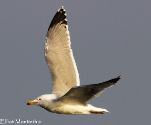 Yellow-legged Gull (Larus michahellis) - A hard one to pick up but a breif look out of History in yr10 resulting in YLG being added to the list