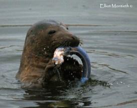 Atlantic Grey Seal (Halichoerus grypus) - Birkenhead Docks