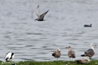 Whiskered Tern (Chlidonias hybrida) - 1 of 2 present on the Elton Hall flash, my 200th Cheshire bird