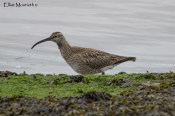 Whimbrel (Numenius phaeopus) - Suprisingly had more records of Whimbrel than it's cousin the Eurasian Curlew