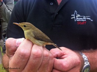 Melodious Warbler -
