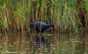 Western Purple Swamphen, RSPB Minsmere, Suffolk