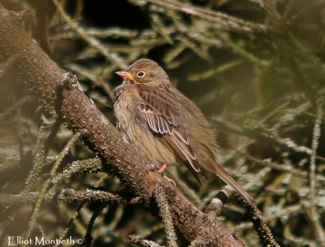 My favourite shot of the 1st winter Ortolan Bunting