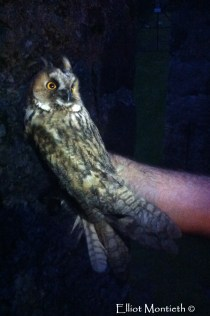 Long-eared Owl just before release