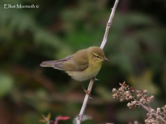 Willow Warbler (Phylloscopus trochilus) - After the discovery of the first Willow Warbler for the site on the 19 of March, just 2 were heard singing today