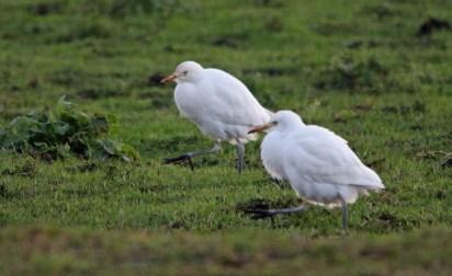 Western Cattle Egret (Bubulcus ibis) - Birkdale, Lancashire