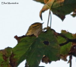 Pallas's Warbler, Easington, East Yorkshire