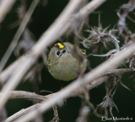 Goldcrests were all over the place and seemed to out number everyone other bird LITERALLY!