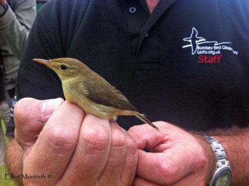 Melodious Warbler - Bardsey Island, Gwynedd