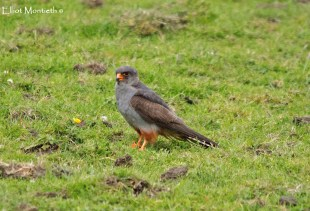 Red-footed Falcon, Chatterly Whitehall, Staffordshire