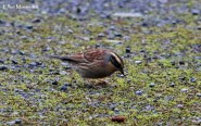 2cy+ Siberian Accentor (Prunella montanella) - Easington, East Yorkshire