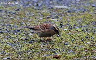 Siberian Accentor - Easington, East Yorkshire