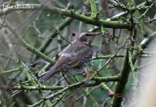 Dusky Thrush (Turdus eunomus) - Beeley, Derbyshire