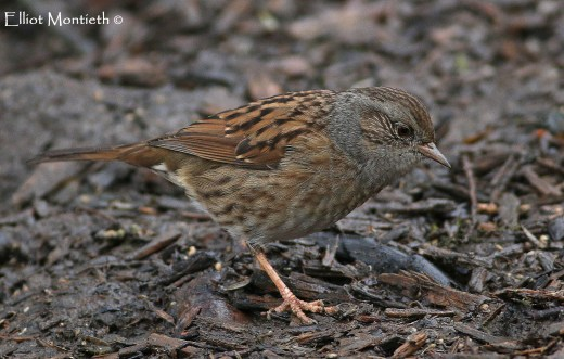 The Headge Accentor aka Dunnock. Why can't more people see the beauty in this bird ?