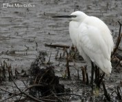 Little Egret (Egretta garzetta) - Just one record of this fella passing over the playing field, also had several other records in the fields surrounding the site