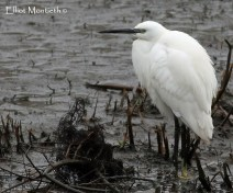 Fantastic views and by far my best yet of Little Egret