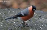 pennington-male-bullfinch_edited-1