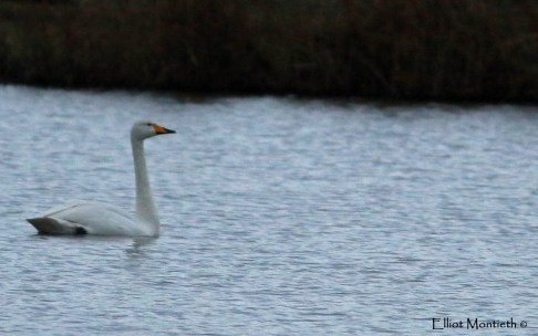 On our way back this Whooper Swan made a drinking stop at the Bridge Screening allowing for decent record shots
