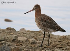 Black-tailed Godwit (Limosa limosa) - Grant its not the best scenery for a Black-tailed Godwit but never the less its an image I'm pretty pleased with.