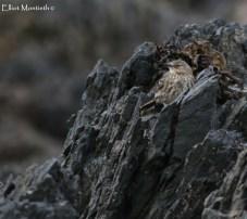 Eurasain Rock Pipit (Anthus petrosus)