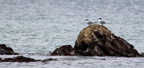 Sandwich Tern (Thalasseus sandvicensis) - This pair remained resisdent for the entrie trip in the bay