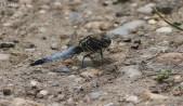 Black-tailed Skimmer at BTO bird Camp_edited-1