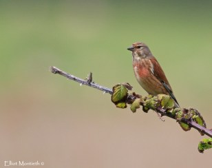 Common Linnet (Linaria cannabina) - A beautiful adult male attending to a nest situated not too far from the hide.