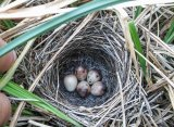 Common Reed Bunting (Emberiza schoeniclus) - Found by David Leach this nest was located much further away from water than what had been expected (Image - Ben Porter)