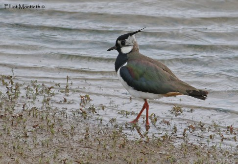 Northern Lapwing (Vanellus vanellus) - One of the reserve commonest breeding species with over 70 pairs on the reserve