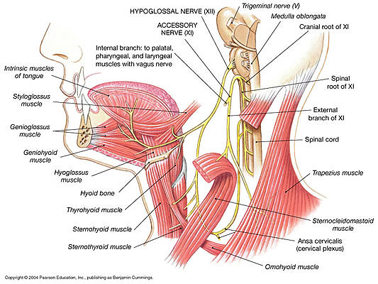 Human Neck Anatomy And Physiology Anatomy Of The Upper Spine