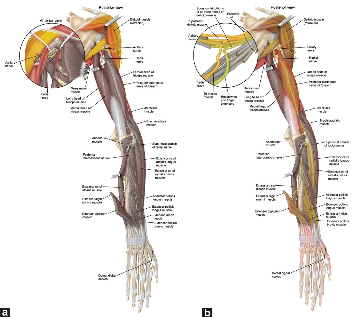 Shoulder Anatomy and Physiology - Elliots World