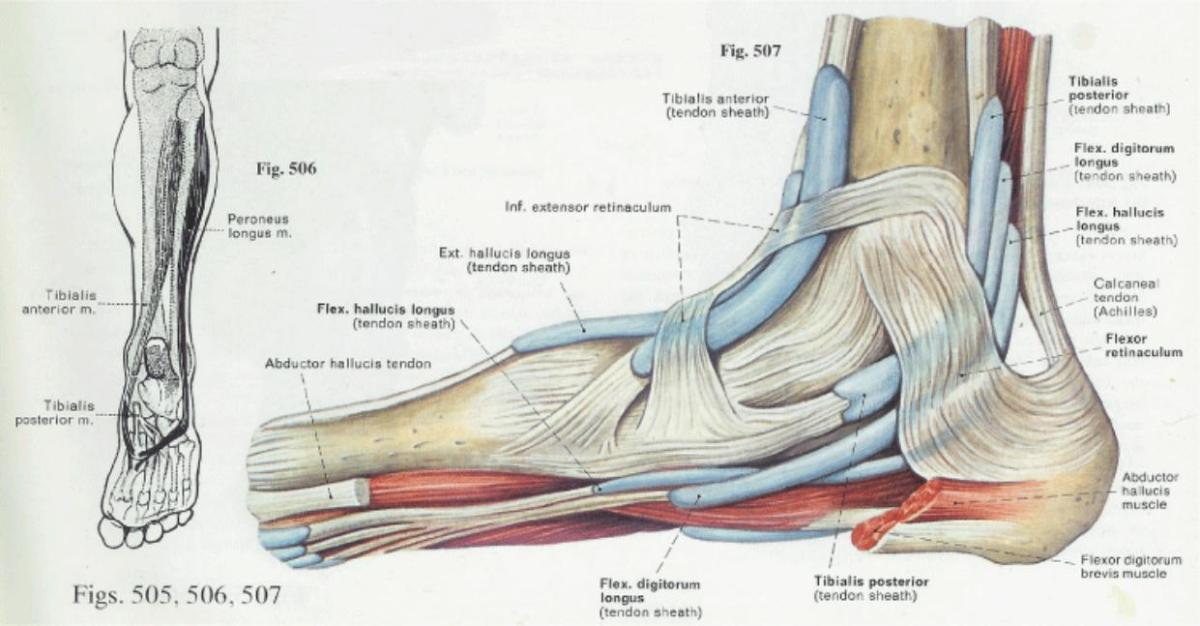 Foot Anatomy and Function | पाद | pāda - Elliot\'s Blog