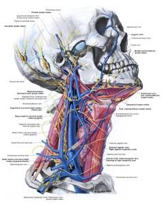 neck_veins_detail