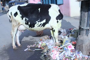 indian_cow_eating_trash