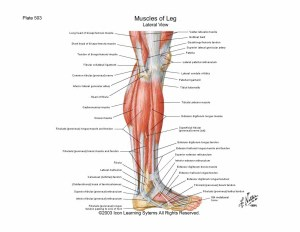 leg_lateral_musculature