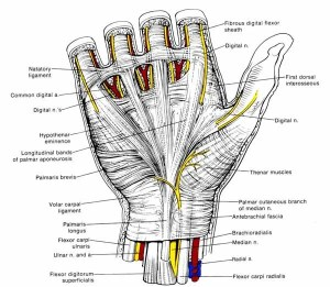 Hand_ligaments