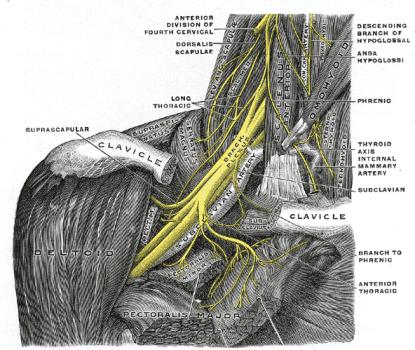 Gray's Brachial Plexus