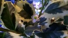 Ilex aquifolium 'Aurea Marginata'4