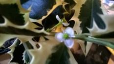 Ilex aquifolium 'Aurea Marginata'6