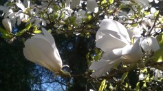 Alnarp-2016 Magnolia 2