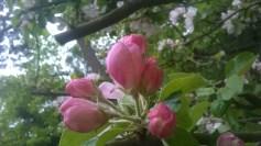 Äppelblom (5)
