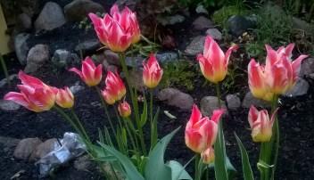 Trädgård Tulpaner Maj2016 (28)